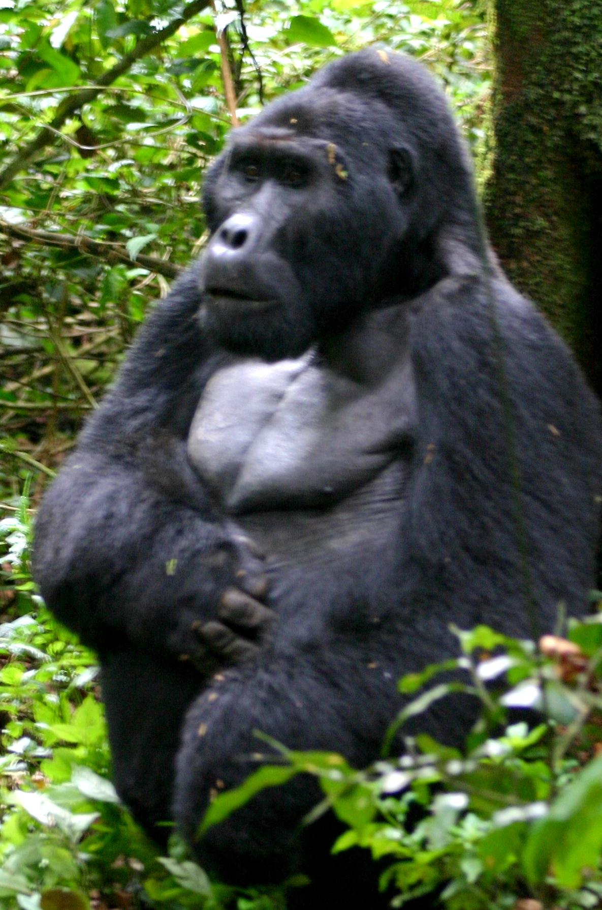 Go See A Gorilla Before It's To Late